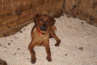 Rottweiler-Boerboel Mix PUPPY FOR SALE ADN-93082 - Rottweiler Boerboel Mix Puppy For Sale Male Ralph