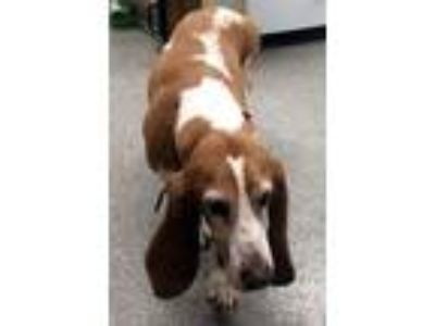 Adopt LADY LUCY - ADOPTION PENDING! a Basset Hound