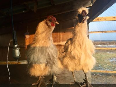 Free Silkie Roosters
