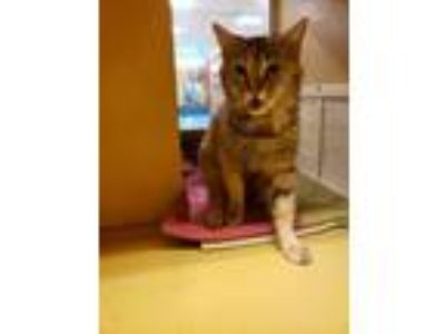 Adopt Maisha a Domestic Short Hair