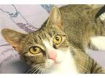 Adopt Ornate a Domestic Shorthair / Mixed cat in Sherwood, OR (25887398)