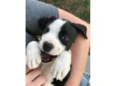 Adopt NIXIE a Black - with White Labrador Retriever / Mixed dog in Northwood