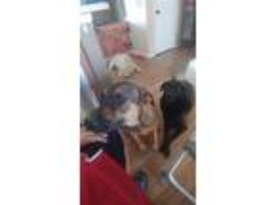 Adopt Sarge a Brindle Shepherd (Unknown Type) dog in Eureka, MO (25271248)