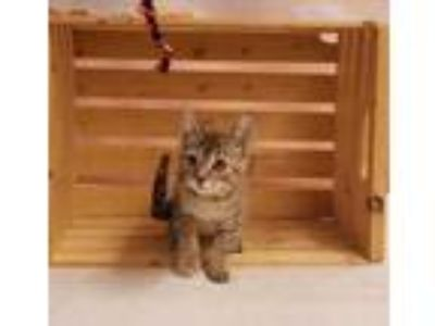 Adopt LONDON a Brown or Chocolate Domestic Shorthair / Domestic Shorthair /