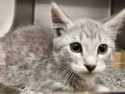 Adopt *WOBBLE a Gray, Blue or Silver Tabby Domestic Shorthair / Mixed (short