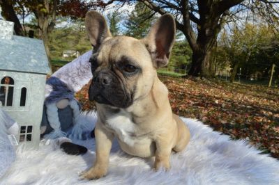 French Bulldog PUPPY FOR SALE ADN-107167 - PRINCE