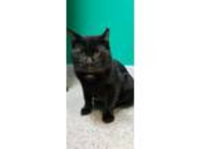 Adopt Wyatt a All Black Domestic Shorthair / Domestic Shorthair / Mixed cat in