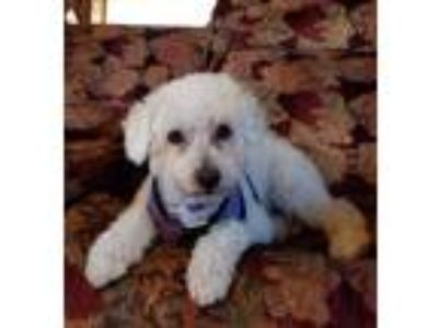 Adopt Tommy a White Bichon Frise / Mixed dog in Placentia, CA (25551426)