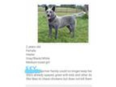 Adopt Sky a Australian Cattle Dog / Blue Heeler