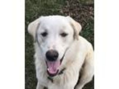 Adopt Storm a White Great Pyrenees / Anatolian Shepherd / Mixed dog in Gallatin