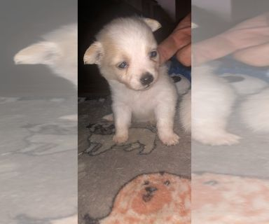 Paperanian-Pomeranian Mix PUPPY FOR SALE ADN-128630 - Paperanian