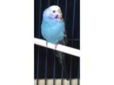 Adopt Woodstock a Parakeet - Other bird in Escondido, CA (25342650)