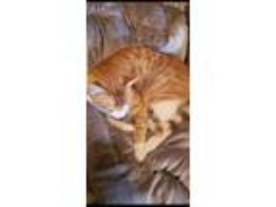 Adopt Louie a Orange or Red Tabby American Shorthair cat in Bartlett