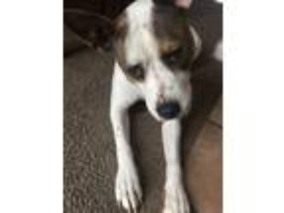 Adopt Lucy a White - with Brown or Chocolate American Pit Bull Terrier / Bull