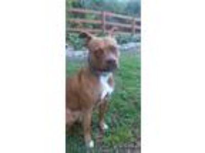 Adopt Bindi a Brindle American Staffordshire Terrier / American Pit Bull Terrier