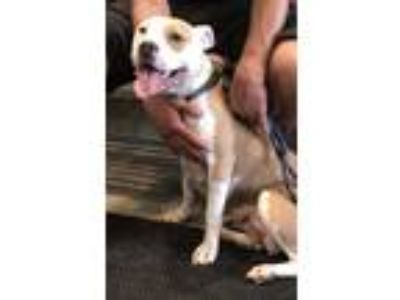 Adopt Hannah a White - with Tan, Yellow or Fawn Pit Bull Terrier / Mixed dog in
