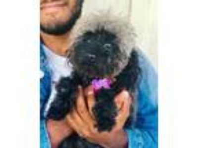 Adopt Molly a Black Poodle (Miniature) / Mixed dog in Loxahatchee, FL (25306640)