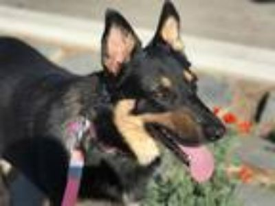 Adopt Raven a German Shepherd Dog / Mixed dog in Downey, CA (17407283)