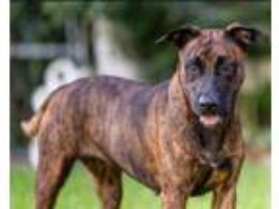 Adopt Mimi a Dutch Shepherd, Bull Terrier