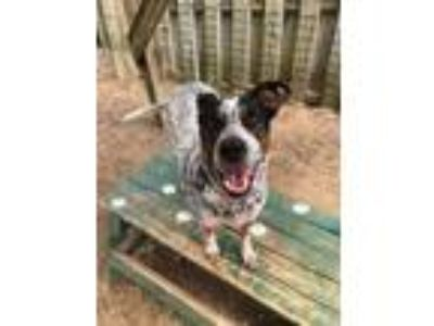 Adopt Parker a Cattle Dog