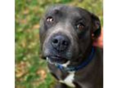 Adopt Tali a Gray/Silver/Salt & Pepper - with White American Pit Bull Terrier /