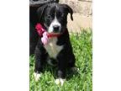 Adopt Sirsi a Black - with White Border Collie / Collie / Mixed dog in