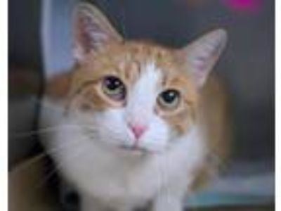 Adopt Lily DIABETIC a Orange or Red (Mostly) Domestic Shorthair / Mixed cat in