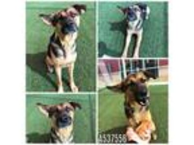 Adopt SYDNEY a Brown/Chocolate - with Black German Shepherd Dog / Mixed dog in