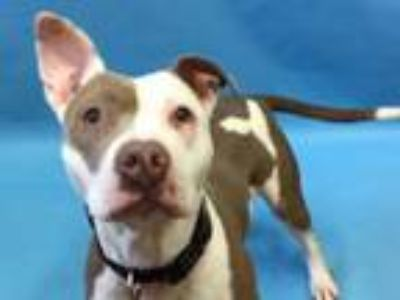 Adopt Freda a Pit Bull Terrier, Mixed Breed