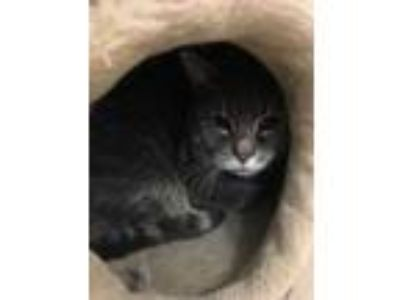 Adopt 12022 Buster a Gray or Blue Domestic Shorthair / Domestic Shorthair /