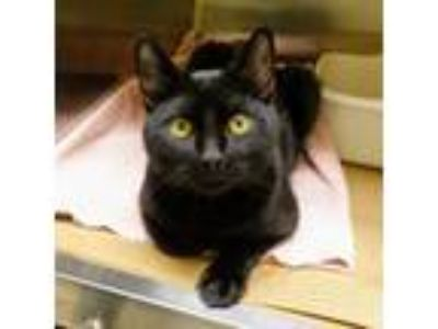 Adopt Julio (TAS #12) a All Black Domestic Shorthair / Mixed (short coat) cat in