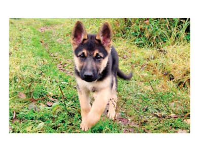 GERMAN SHEPHERD PUPS, DOB 4-1-17, BEAUTIFUL BLACK ...