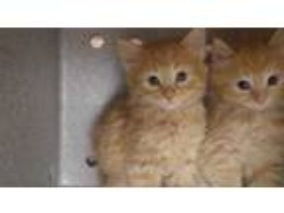 Adopt THING 1 a Orange or Red Tabby Domestic Shorthair / Mixed (short coat) cat