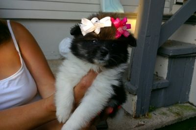 Pomeranian PUPPY FOR SALE ADN-88362 - Adorable Pomeranian Pups