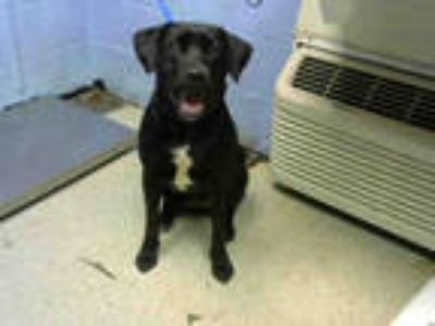 Adopt HADAS a Black - with White Labrador Retriever / Mixed dog in Atlanta