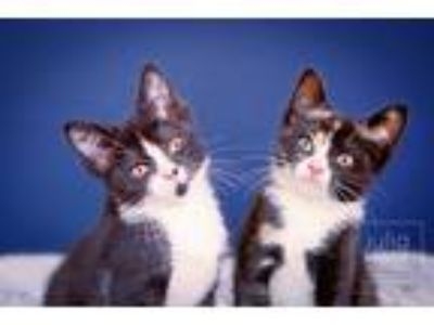 Adopt Cocoa & Puff a Calico or Dilute Calico Domestic Shorthair (short coat) cat