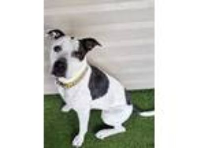 Adopt Hannah a White American Pit Bull Terrier / Mixed dog in Clearfield