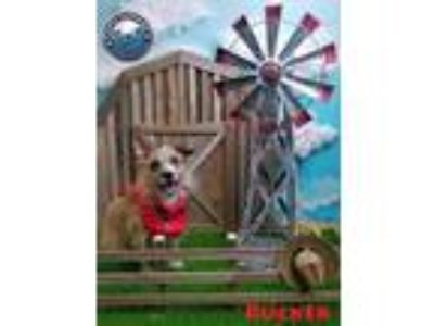 Adopt Hold - Rucker a Tan/Yellow/Fawn - with White Terrier (Unknown Type