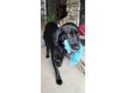 Adopt Guinness a Labrador Retriever