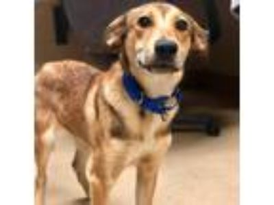 Adopt Shep a Tan/Yellow/Fawn Labrador Retriever / Mixed dog in Milwaukee