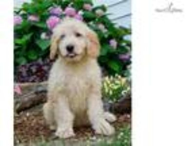 Baby adorable mini Goldendoodle Ready CUTE!