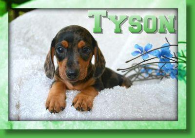 Tyson Male Dachshund
