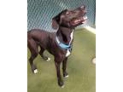 Adopt Jack a Black Great Dane / Retriever (Unknown Type) / Mixed dog in