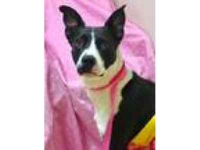 Adopt Willow a Black - with White Labrador Retriever / Pit Bull Terrier / Mixed