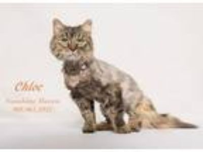 Adopt Chloe a Tan or Fawn Tabby Maine Coon (medium coat) cat in Banning