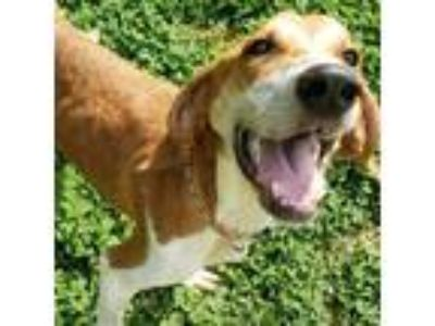 Adopt Red a Tan/Yellow/Fawn Basset Hound dog in Lynchburg, VA (25491040)