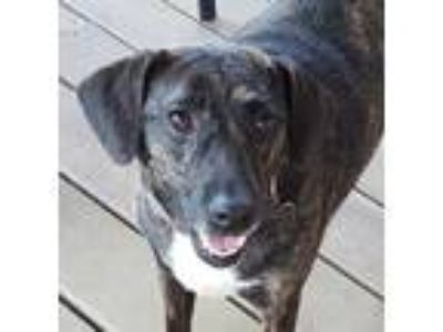 Adopt Ripley a Black Terrier (Unknown Type, Small) / Mixed dog in Houston