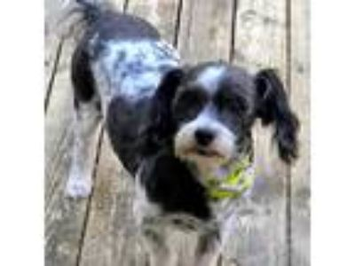 Adopt Oreo a Black - with White Shih Tzu / Poodle (Miniature) / Mixed dog in