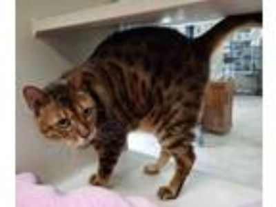 Adopt Akashi a Brown or Chocolate Bengal / Domestic Shorthair / Mixed cat in