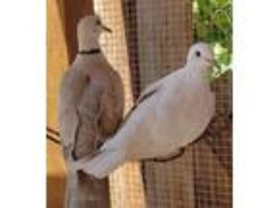 Adopt Paloma w/ Woody a White Dove bird in San Francisco, CA (25892460)